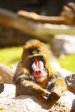Mandrill Baboon Resting Looking Forward. Beautiful large Mandrill Baboon sitting with arms restIng on a rock while looking forward into the camera stock photo