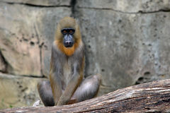 Mandrill Baboon sitting on Tree Branch Royalty Free Stock Images