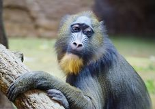 Mandrill. Baboon. This type of Primate family of monkeys. Mandrils are the largest representatives of the family of baboons royalty free stock photos
