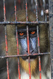 Mandrill in cage Stock Photography