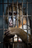 Mandrill in cage stock images