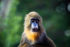 Mandrill close up Stock Images