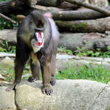 Mandrill. Close-up View of a mandrill standing on a rock Royalty Free Stock Photography