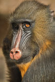Mandrill colorful face in detail look Royalty Free Stock Image