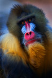Mandrill Face. Portrait of Mandrill taken at a zoo Stock Photo