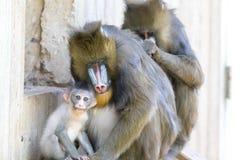 Mandrill-Familie in der Gefangenschaft Lizenzfreies Stockfoto