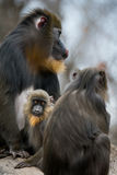 Mandrill Family Royalty Free Stock Photos