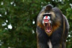Mandrill gritando Fotografia de Stock