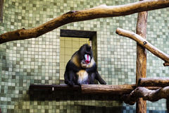 Mandrill in its habitat Stock Photography