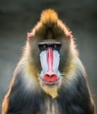 Mandrill IX. Frontal Portrait of a Backlit Male Mandrill Royalty Free Stock Photography