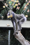 Mandrill on the Lookout Royalty Free Stock Photo