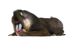 Mandrill lying, Mandrillus sphinx, 22 years old Royalty Free Stock Images