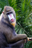 Mandrill making Eye Contact Royalty Free Stock Image