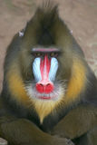 Mandrill male. Portrait of male mandrill monkey Royalty Free Stock Photo