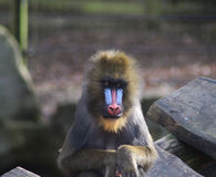Mandrill male Stock Images