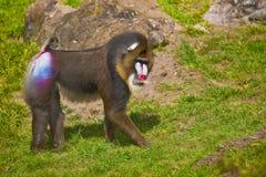 mandrill mandrillus狮身人面象 免版税库存图片