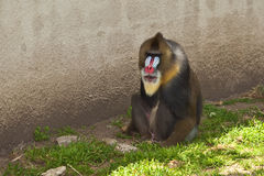 Mandrill (Mandrillus sphinx). Photo depicts primate with olive-colored fur and the colorful face and rump of males, a coloration that grows stronger with sexual Royalty Free Stock Photo