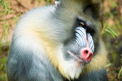 Mandrill (Mandrillus sphinx). Portrait of colourful mandrill monkey Royalty Free Stock Images