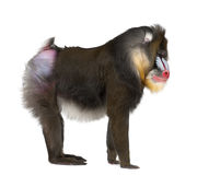 Mandrill, Mandrillus sphinx, 22 years old Royalty Free Stock Image