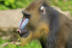 Mandrill (Mandrillus sphinx) Stock Photography