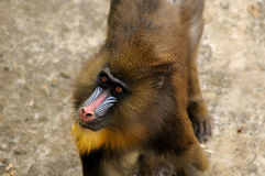 Mandrill (Mandrillus Sphinx). A mandrill (mandrillus sphinx) looking up out of it's enclosure at the Hefei Wild animal park in Hefei China Royalty Free Stock Photo