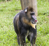 Mandrill, Mandrillus sphinx, monkey Stock Images