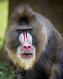 Mandrill. The mandrill (Mandrillus sphinx) is a primate of the Old World monkey (Cercopithecidae) family,closely related to the baboons and even more closely to Stock Photo