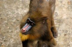 Mandrill (Mandrillussfinx) Royaltyfri Foto