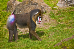 Mandrill (Mandrillussphinx). Lizenzfreies Stockbild