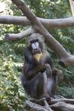 Mandrill monkey Stock Images