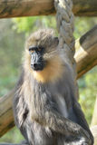 Mandrill monkey Royalty Free Stock Images