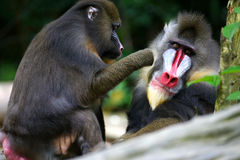 Mandrill Monkey. Two Mandrill monkets found together royalty free stock photo