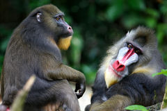 Free Mandrill Monkey Stock Images - 3631334