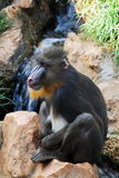Mandrill monkey Royalty Free Stock Photo