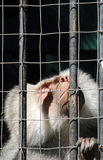 Mandrill monkey behind bars looking up Royalty Free Stock Photography