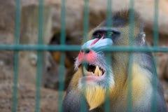 Mandrill monkey in captivity Royalty Free Stock Photos