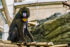 Mandrill monkey in closeup, large primate with a colorful nose, vulnerable animal specie from Cameroon, Africa. A mandrill monkey in closeup, large primate with royalty free stock photos
