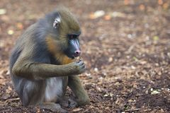 Mandrill Monkey portrait Royalty Free Stock Images