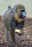 Mandrill Monkey portrait Royalty Free Stock Image