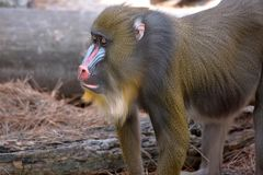 Mandrill Monkey Profile. Profile of a Mandrill monkey, thin depth of field with focus on the face stock photos