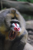 Mandrill Monkey with Sharp Teeth with His Mouth Open Royalty Free Stock Photography