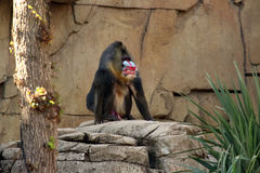 Mandrill Royalty Free Stock Photography