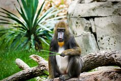 Mandrill Monkey at the Zoo Royalty Free Stock Image