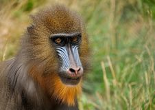 Mandrill, Monkey, Zoo, Animal Stock Photography
