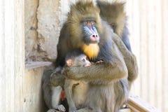 Mandrill-Mutter, die ihr Baby schützt Stockbilder