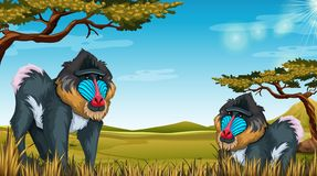 Mandrill in nature scene