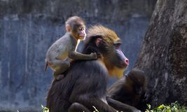 A baby mandril with her mother stock photo