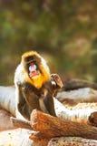 Mandrill-Pavian, der das Kamera-Verkratzen betrachtet Stockfotografie