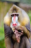 Mandrill Pedicure Royalty Free Stock Photo