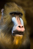 Mandrill Stock Photography